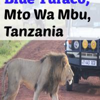 Blue Turaco, Mto Wa Mbu, Tanzania