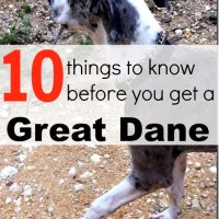 10 things to know before you get a Great Dane